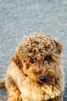 Curl Overload! #puppy poodl, puppies, animals, cutest dogs, teddy bears, blondes, labradoodl, curly hair, paddington bear