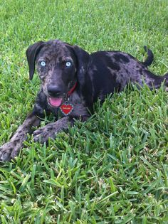 Catahoula Puppy :)