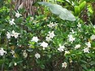 Gardenias make the whole yard smell so good.