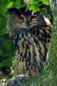 Eagle Owl - by Alan Hinchliffe