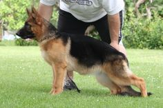 reminds me of Don.   Short coat German Shepherd Dog -