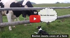 When this Boston Terrier Dog Met these 2 Cows at a Farm! Watch ► http://www.bterrier.com/?p=26376