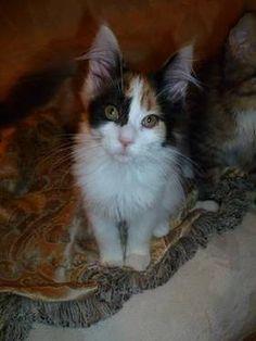 Calico kitties on pinterest 77 pins