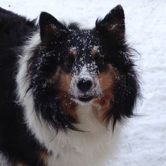 It's only -19C in #Ottawa today, a good day for a #sheltie to play in the snow.