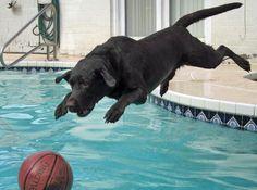 Hunter the Labrador Retriever