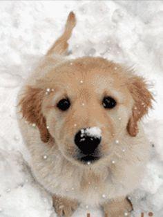 Little Golden Retriever Pup