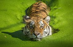 Photo Tiger Swim by Stig Ottesen on 500px
