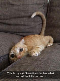 crazy cats, crazi cat, crazy animals, kitti crazi, stuff i like