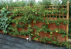 espaliered* fruit trees. *the practice of tying tree branches to a flat support, creating formal, geometric patterns. pretty, and great for small gardens.
