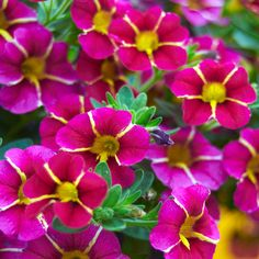 Superbells Cherry Star Calibrachoa (Calibrachoa hybrid)   thrives in well-drained soil — perfect for your containers this year. Be sure to keep it close to a window. Its flower-heavy, trailing branches will attract hummingbirds! Type Tender perennial (grown as annual)Blooms Bright pink flowers with yellow, cream-tinged star centers from spring to early fall-Light Full sun Size 6 to 10 in. tall, 8 to 10 in. wide  Cold-hardy USDA 9 to 11  Heat-tolerant AHS zones 12 to 1  Local garden centers