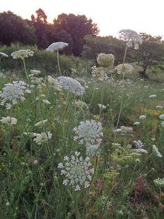 white flowers, iowa flowers, garden, queen ann