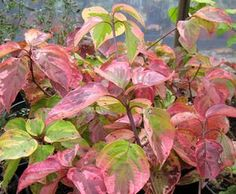 Golden Shadows dogwood (Cornus alternifolia 'Golden Shadows') fall color [15 feet tall x 10 feet wide]