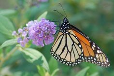 18 Plants That Attract Butterflies: A Regional Guide. Plants that attract butterflies and bees are not only helpful to the ecosystem, they're also quite beautiful to look at! If you've always wanted to start a butterfly garden, but weren't sure about the best way to support your local species, this guide is for you. #gardening #butterflies