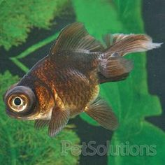 Gold fish my favorite species on pinterest koi for Small pond fish types