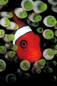 An anemone fish is hiding in its host anemone. S)