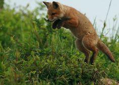 Fox cub jump!