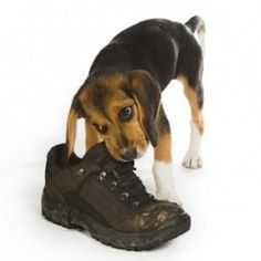 Beagly #puppy dog chewing on a big walking boot