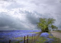 Bluebonnets and Spring Rain