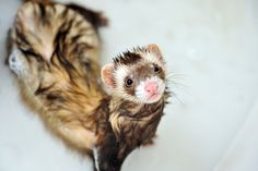 Ferrets are the best.