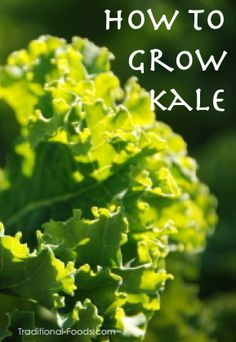 Growing Kale In Your Garden from Traditional-Foods.com