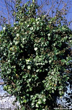 Hedera maderensis subsp iberica