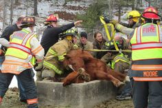 Rescuers pull horse