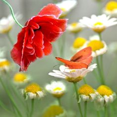Poppy, daisies, and butterfly