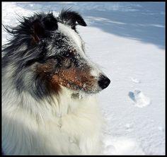 beautiful snow sheltie :)