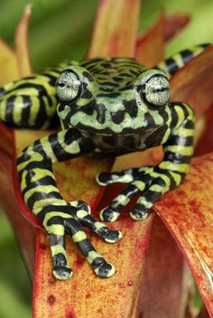 Tiger's Treefrog