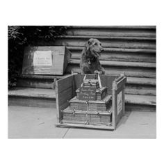 President Harding's Airedale Terrier, 1922 Posters