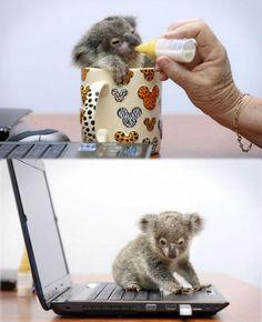 The cutest baby koala...
