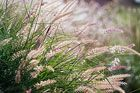 Drought-Resistant Ornamental Grasses