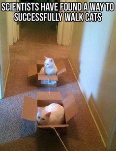 cats, anim, walks, pet, funni, boxes, walk cat, train, cat walk