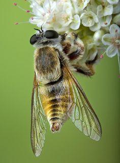 Bee - Nice Macro Photo !