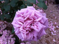 =) Flores