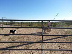 Aussie herding #herding #AustralianShepherd herd herd, herd australianshepherd, aussi herd