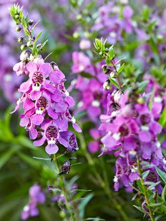 This particular variety of snapdragon, serenita angelonia, has an upright form with lavender flower spikes: http://www.bhg.com/gardening/design/color/purple-flower-garden-ideas/?socsrc=bhgpin102614summersnapdragon&page=2