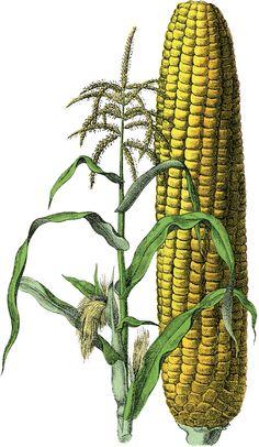 Free Vintage Corn Image
