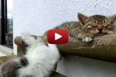 Playful kitten tries to wake its sibling up and fails