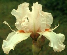 Comanche Acres Iris Gardens - Gower, MO - Cherry Blossom Special Tall Bearded Iris