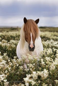 Beautiful Iceland Pony