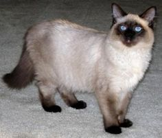 balinese cat cats, anim, meow, pet, balines cat, kitti, amaz paint, kitty, cat breed