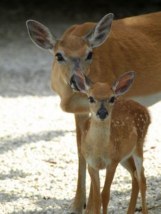 "A doe and young fawn at Big Pine Key, FL. These deer are on the endangered species list and run wild throughout a wildlife refuge. The Key deer are very small, with the mother being about the size of a large dog and the fawn was about 12"" tall."