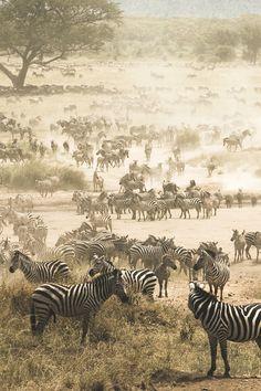 black n white, animals, van, champagne, black white, national parks, forest, africa, zebra migrat