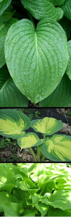 How to Grow (and love) Hostas!  #garden #gardening #flowers #vegetables #herbs #eco #green
