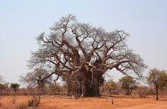 Another baobab in Africa