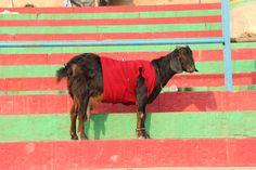 goat, india