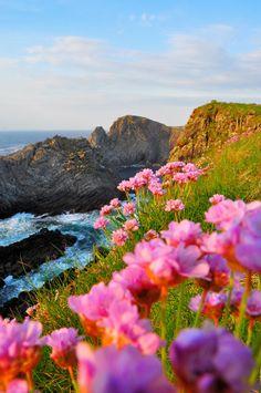 Pink Blossom in Sea Cliffs, Malin Head Ireland
