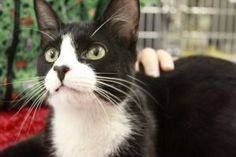 Joe Frasier is an adoptable Tuxedo Cat in Blackwood, NJ. Joe was surrendered to us on 04/12/12. He is about a year old, but still little. Joe is still a little scared and adjusting to his new environm...