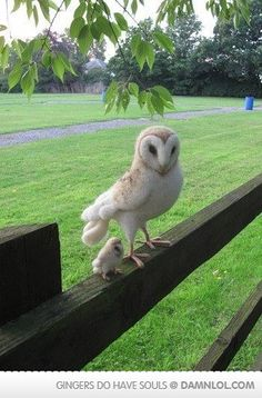 Big Barn Owl And Baby Barn Owl, dying from the cuteness!!!!!!